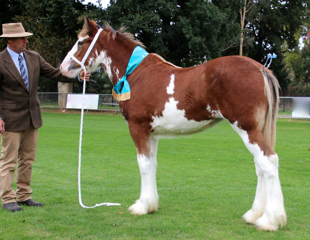 Aarunga Valerie Champion Exhibit Under 3 Years & Champion Foal