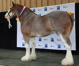 Haylands Tradesman (8292) Champion Gelding Melbourne Royal 2016 Owned By: N De Haan  Bred By: Haylands Clydesdale Stud