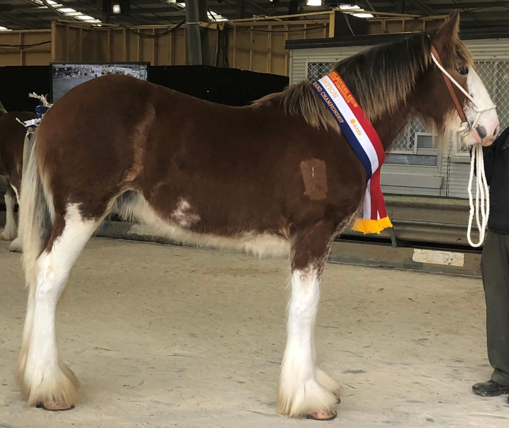Narioka Sir George (9478) Champion Stallion Melbourne Royal 2018 Bred & Owned by: Narioka Clydesdale Stud