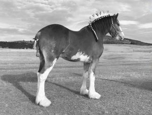 Duneske Ranger (9163) Champion Gelding Brisbane Royal 2017 Bred & Owned By: I & J Stewart-Koster