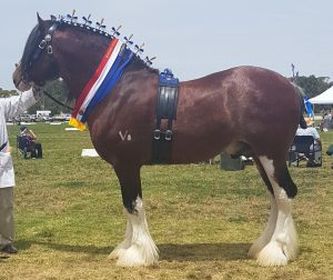 Brookhampton Statesman (8877) Champion Stallion 2018 National Heavy Horse Festival  Bed By: D & Lonie  Owned By: I & J Hodgetts