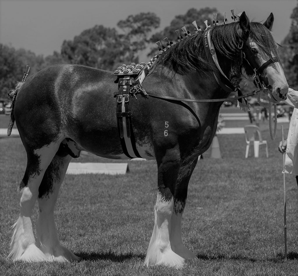 Oscarville Pegasus (9415) Champion Stallion Sydney Royal 2018 & 2019 Bred & owned by: P Cooper