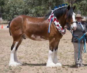 Surex Park Georgie Boy (8668) Champion Gelding Perth Royal 2017 Owned By: K Johnson  Bred By: R & S Smith