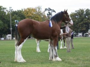 Aarunga Collessie Prince, Champion Yearling