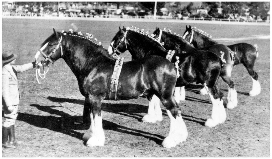 Max Fowler at left with Craigie Nobleman (imp), Craigie Dalsalloch (imp), Craigie Golden Queen (imp) and Collegong Belle (a filly out of Craigie May Queen (imp)). They won the First Place Group Prize at Young Show, NSW in 1940.
